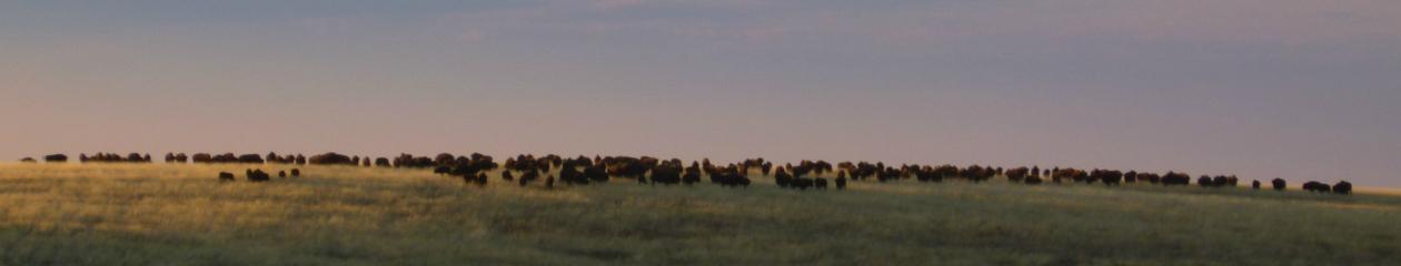 Hunt Montana Buffalo